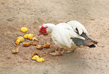 Feeding muscovy duck with white feathers and red wattle