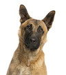 CLose-up of a German Shepherd, facing, isolated on white