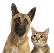 Close-up of Belgian Shepherd and cat looking away, isolated