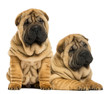 canvas print picture - Two Shar pei puppies sitting and lying next to each other