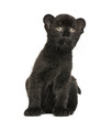 Black Leopard cub sitting, 3 weeks old, isolated on white
