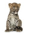 canvas print picture Spotted Leopard cub sitting - Panthera pardus, 7 weeks old