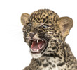 Spotted Leopard cub roaring - Panthera pardus, 7 weeks old