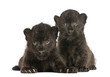 canvas print picture Two Black Leopard cubs lying down, 3 weeks old, isolated