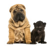 Shar pei puppy and Black Leopard cub sitting next to each other