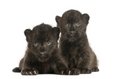 Two Black Leopard cubs lying down, 3 weeks old, isolated