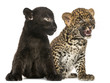 Black and Spotted Leopard cubs sitting next to each other