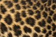canvas print picture Macro of a Spotted Leopard cub's fur - Panthera pardus