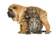 Shar pei puppy standing over a roaring spotted Leopard cub