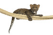 Spotted Leopard cub holding on a rope, 7 weeks old
