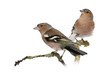 canvas print picture Two Male Common Chaffinchs - Fringilla coelebs on branch