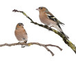 Two Male Common Chaffinchs - Fringilla coelebs on branch