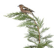 Male Common Chaffinch - Fringilla coelebs perched on a branch