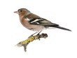 canvas print picture Male Common Chaffinch on a branch- Fringilla coelebs