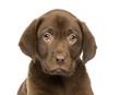 Close-up of a Labrador Retriever Puppy, 2 months old