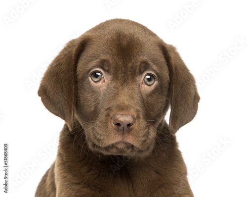 Close-up of a Labrador Retriever Puppy, 2 months old