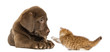 Labrador Retriever Puppy lying and looking at a kitten