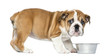 canvas print picture Standing English Bulldog Puppy with metallic dog bowl, 2 months