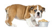 Standing English Bulldog Puppy with metallic dog bowl, 2 months
