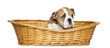 English Bulldog Puppy in a wicker basket