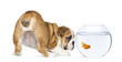 Rear view of an English Bulldog Puppy staring at a goldfish