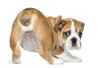 canvas print picture Rear view of an English Bulldog Puppy bottom up