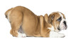 canvas print picture - English Bulldog Puppy bottom up, looking up