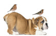 canvas print picture English Bulldog Puppy bottom up with two common chaffinchs