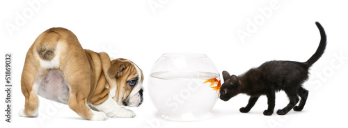 English Bulldog Puppy and black kitten looking at a goldfish