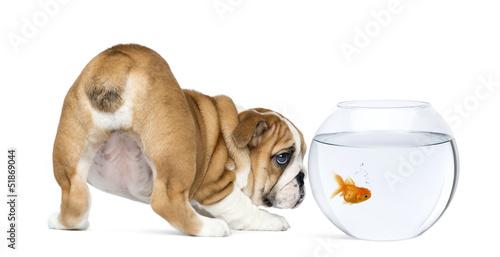 Rear view of an English Bulldog Puppy staring at a goldfish