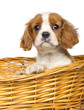 Close-up of a Cavalier King Charles Puppy, in wicker basket