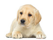 Labrador Retriever Puppy lying down, 2 months old, isolated