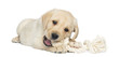 Labrador Retriever Puppy, 2 months old, lying and chewing a rope