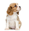 canvas print picture - Cavalier King Charles Puppy sitting and looking up