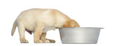 Labrador Retriever Puppy with head in a big dog bowl