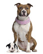 American Staffordshire terrier with pink bandana, French Bulldog