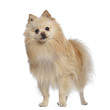 Spitz dog standing, 1,5 year old, isolated on white