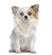 Chihuahua sitting and facing, 2 years old, isolated on white