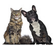 canvas print picture Maine coon and French Bulldog sitting next to each other
