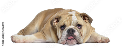 English Bulldog puppy, 5 months old, lying exhausted