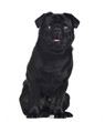 Pug, 1 year old, sitting and facing, isolated on white