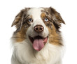 Close-up of a Australian Shepherd, 2 years old, panting