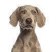canvas print picture - Close-up of a Weimaraner puppy facing, 2,5 months old, isolated