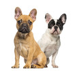 canvas print picture - Two French Bulldog puppies, sitting