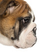 Close-up of an English Bulldog puppy profile