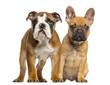 English Bulldog puppy and French Bulldog puppies