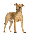 German Pinscher, 8 months old, standing, isolated on white