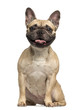 French Bulldog, 3 years old, sitting and panting