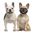 canvas print picture - Two French Bulldogs, sitting and panting
