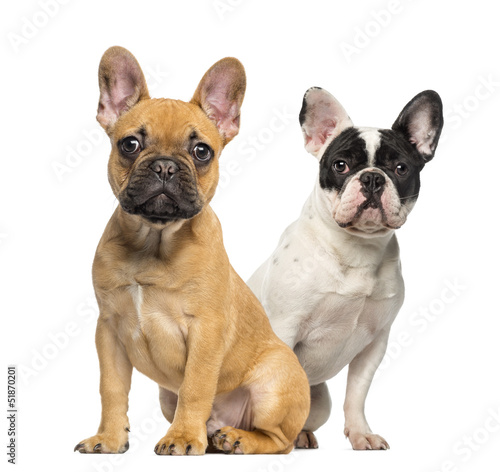 Two French Bulldog puppies, sitting